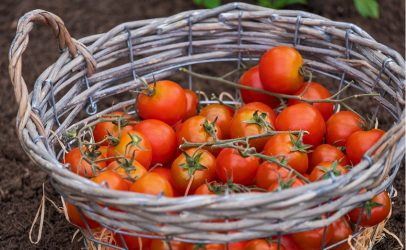 Recordopbrengsten voor 'Take Me Home Tomaten' in Thailand