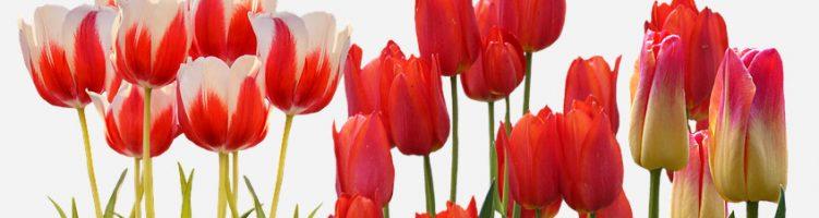 Borst Bloembollen beste bloemenkweker 2016